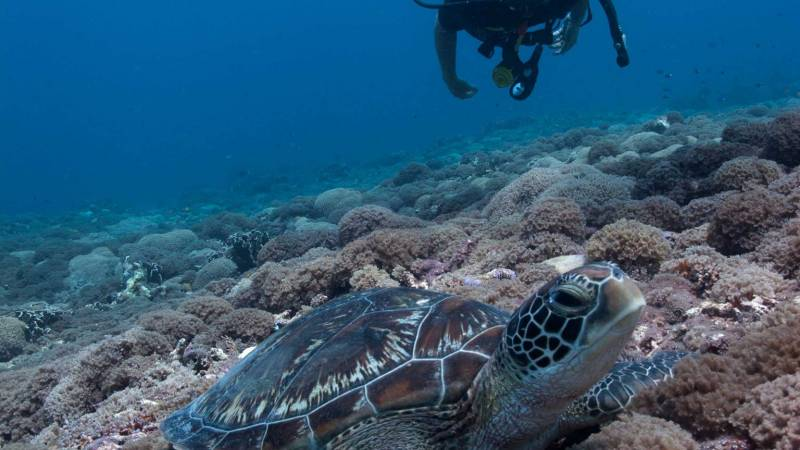 green turtles at Secret Garden dive site