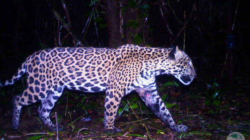 Jaguar caught on our cameratrap