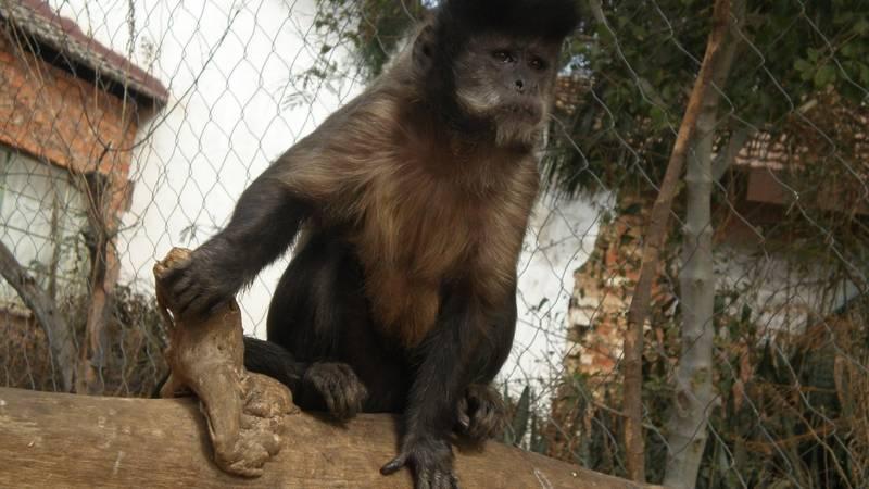 Short-Term Primate Carer
