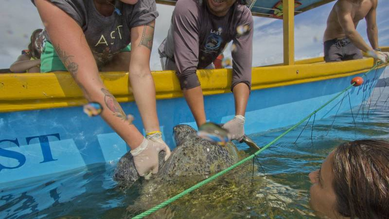 A turtle is pulled from the ocean for tagging.