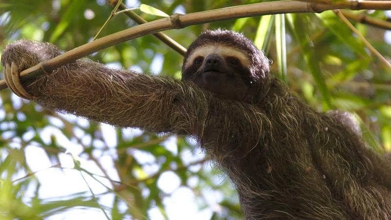 A Sloth near the Comedor
