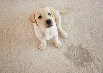 bigstock-Cute-puppy-sitting-on-carpet-n-207914719.jpg