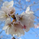 Large cherry blossom 4974732 1920.jpg?googleaccessid=application bucket access@typee 222610.iam.gserviceaccount