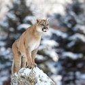 Large depositphotos 61883317 stock photo cougar mountain lion puma panther.jpg?googleaccessid=application bucket access@typee 222610.iam.gserviceaccount