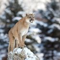 Large depositphotos 61883317 stock photo cougar mountain lion puma panther.jpg?googleaccessid=application bucket access@typee 222610.iam.gserviceaccount