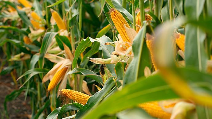 cultivo maiz