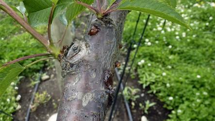 Cáncer Bacterial: Fitopatólogos avalan el uso de Agrocopper en otoño e invierno, para su prevención y control