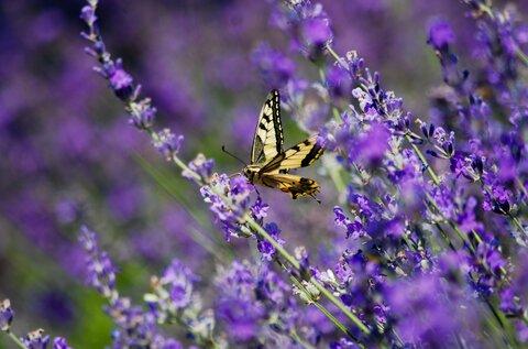 Old Lavender Field