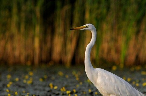 Great Egret Study Trail