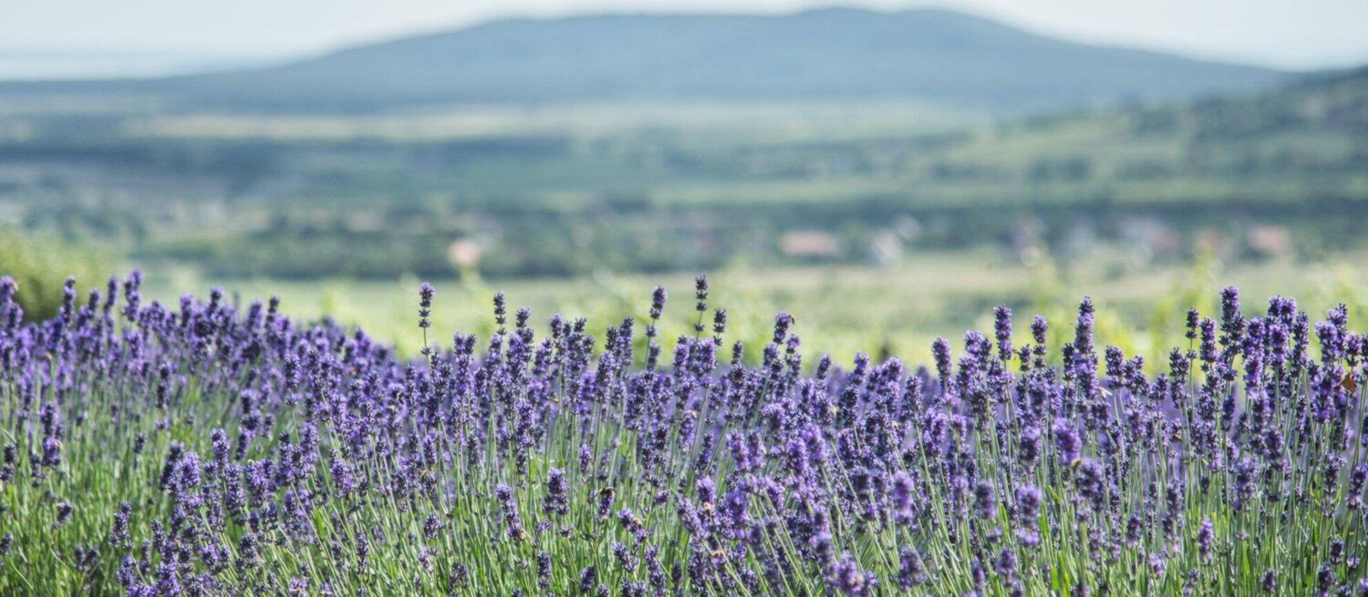 Tihany Lavender Festival 2018