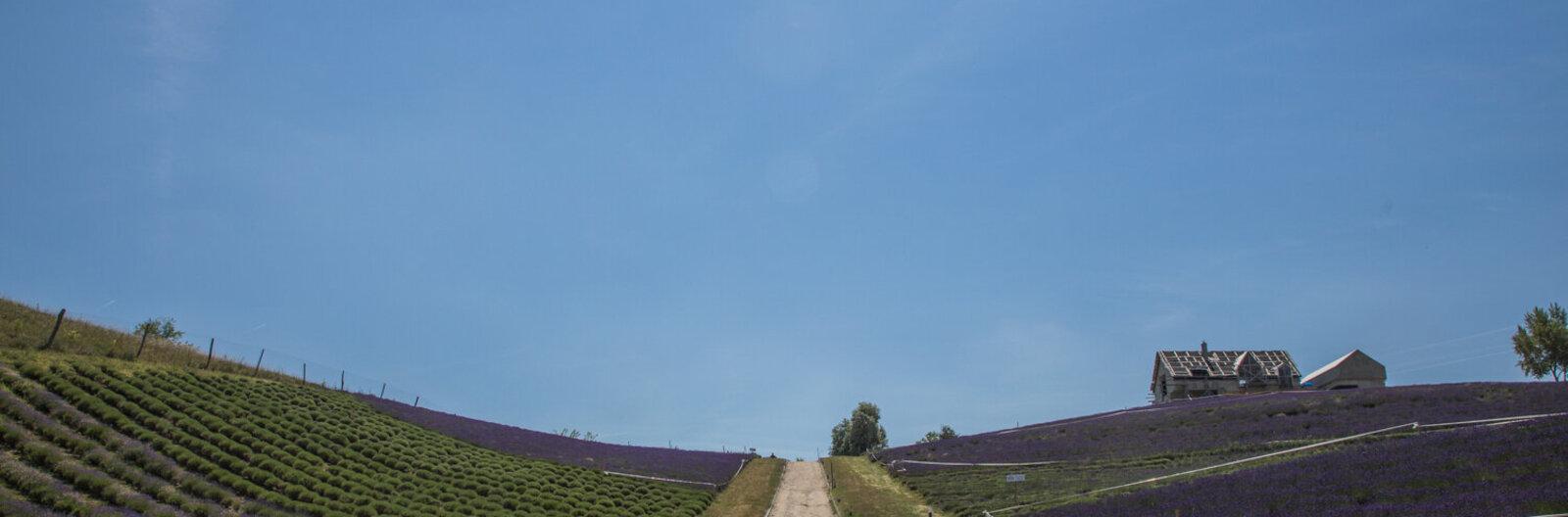 Na, most lesz lila a Balaton! – 5 hely, ahol szedhetsz levendulát