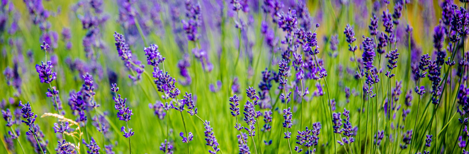 4 places near Budapest to pick your own lavender
