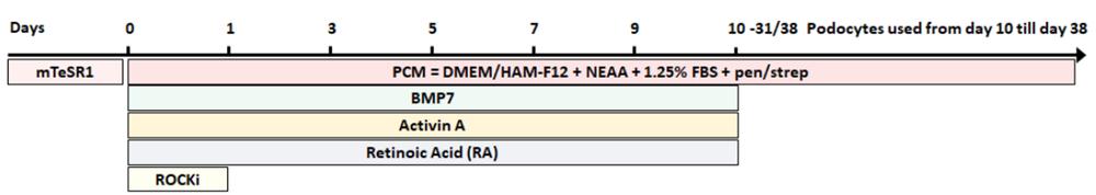 Podocyte differentiation protocol