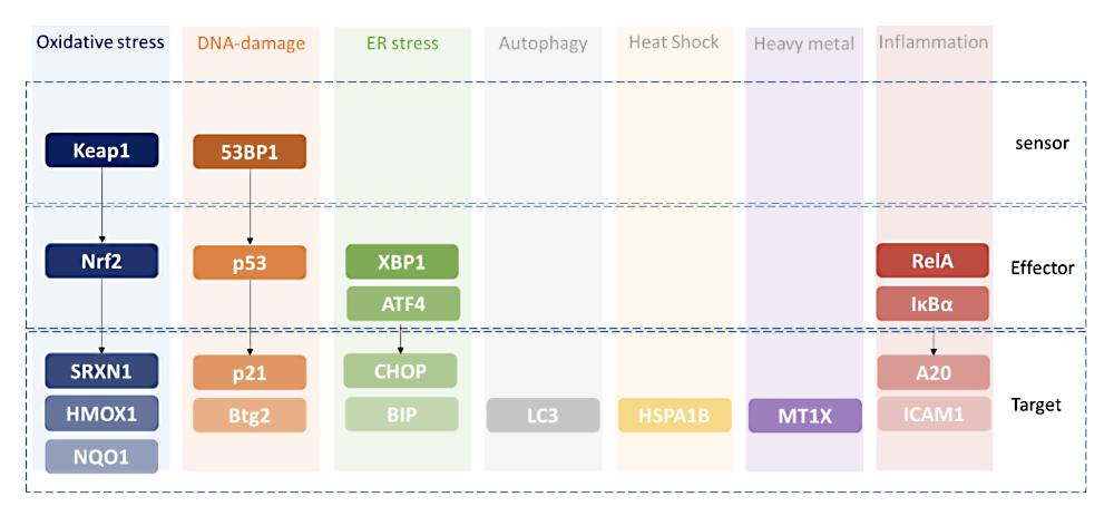 HepG2 BAC-GFP platform