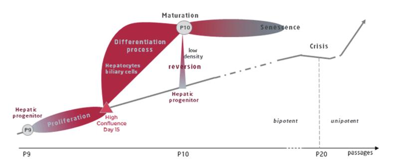 HepaRG Differentiation