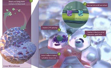 3D InSight™ Human Liver Microtissues
