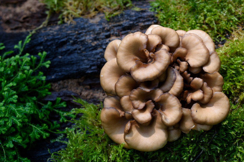 Here's What Makes Maitake Mushrooms Such an Amazing Healing Food