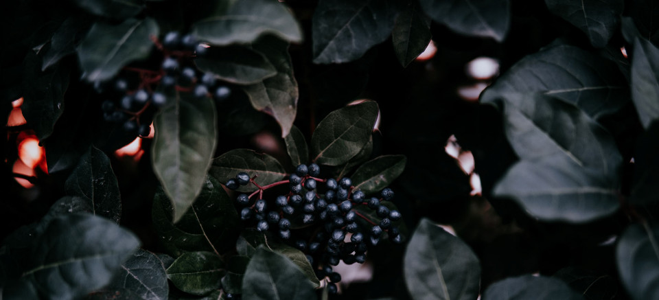 Understanding the Benefits and Dangers of Elderberries