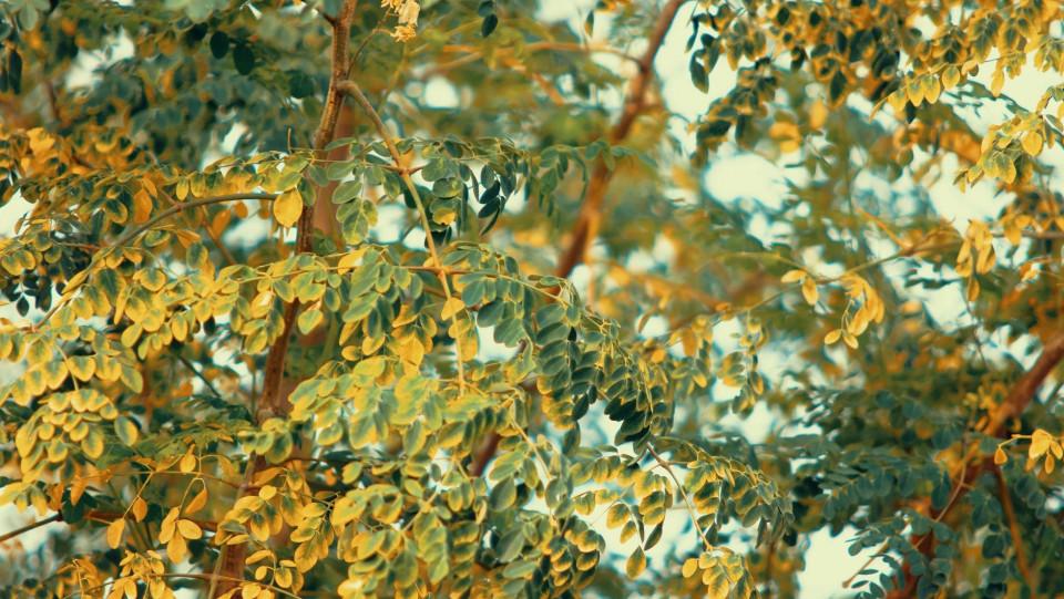 Can Moringa Oleifera Prevent Cancer? Scientists Are Optimistic!