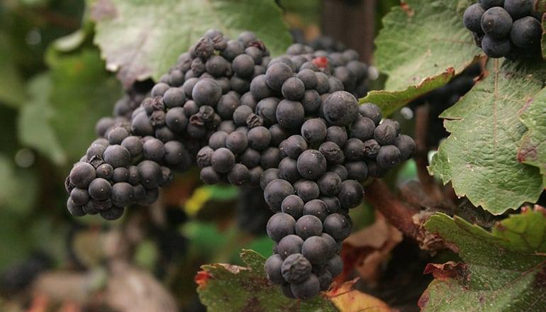 你必須知道的 - 六種葡萄酒品種