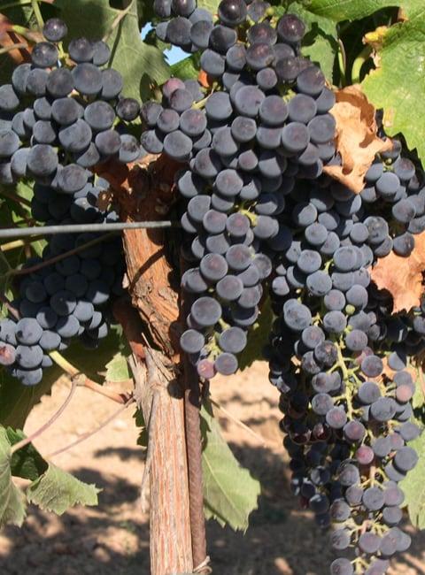 【大賣場品飲誌】世界常見釀酒葡萄品種