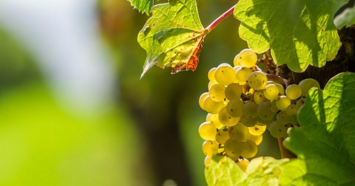 香氣四溢的義大利原生品種 - Malvasia di Candia Aromatica