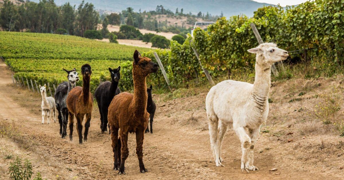 【6月品迷月訂導讀】這個酒莊的葡萄園裡有羊駝!?