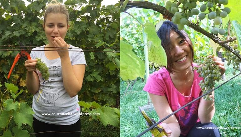 斯洛伐克葡萄採收記