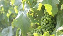 【實習日誌】來去種葡萄!