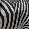 Jigsaw: Zebra Stripes