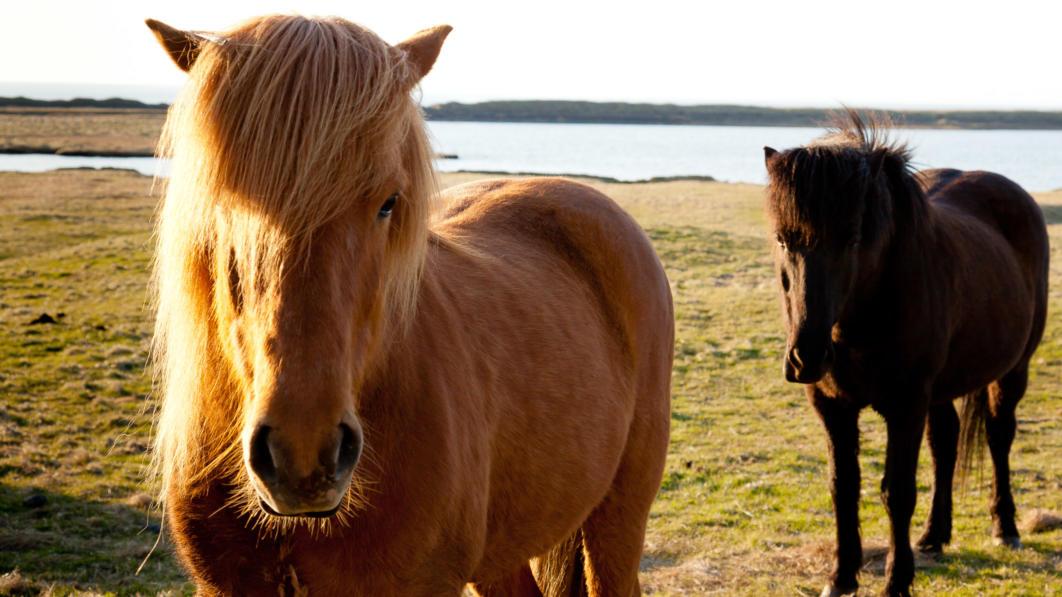 Icelandic Ponies