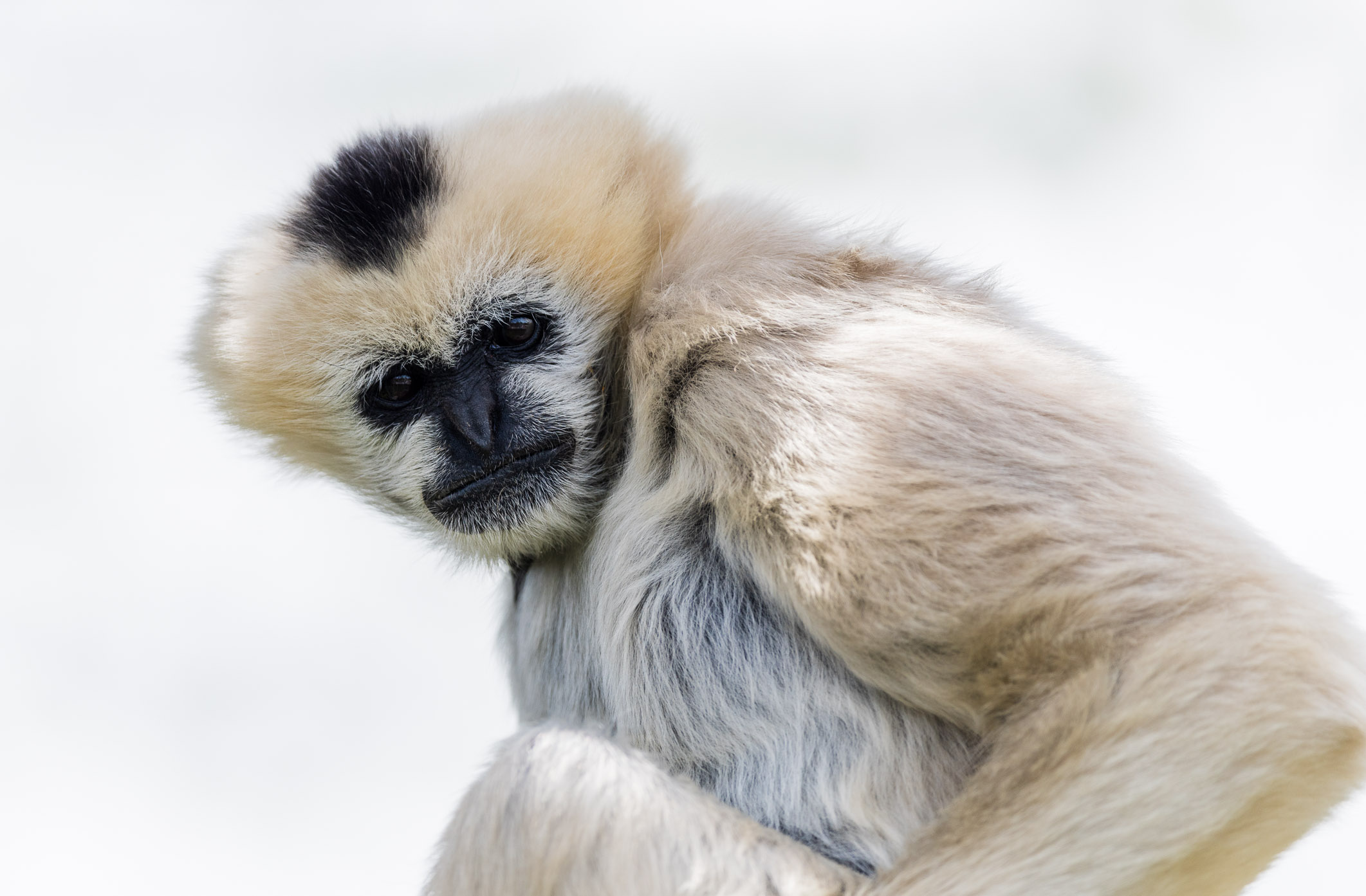 Northern White-Cheeked Gibbon, Denver Zoo, Colorado