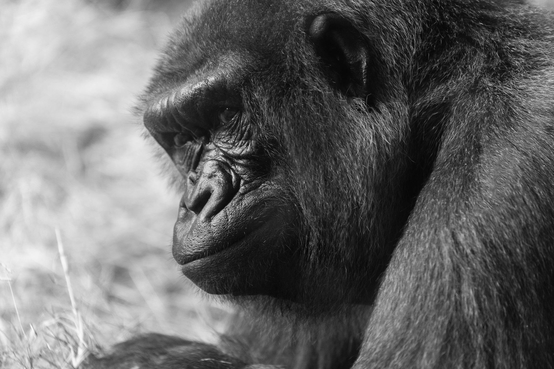 Gorilla, Disney Animal Kingdom, Florida
