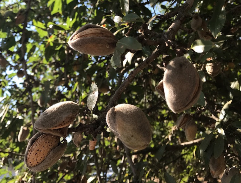 Did you know? More than 80 percent of the world's almonds are grown right here in the United States! Learn more about amazing almonds - a homegrown, sustainable and nutritious snack.