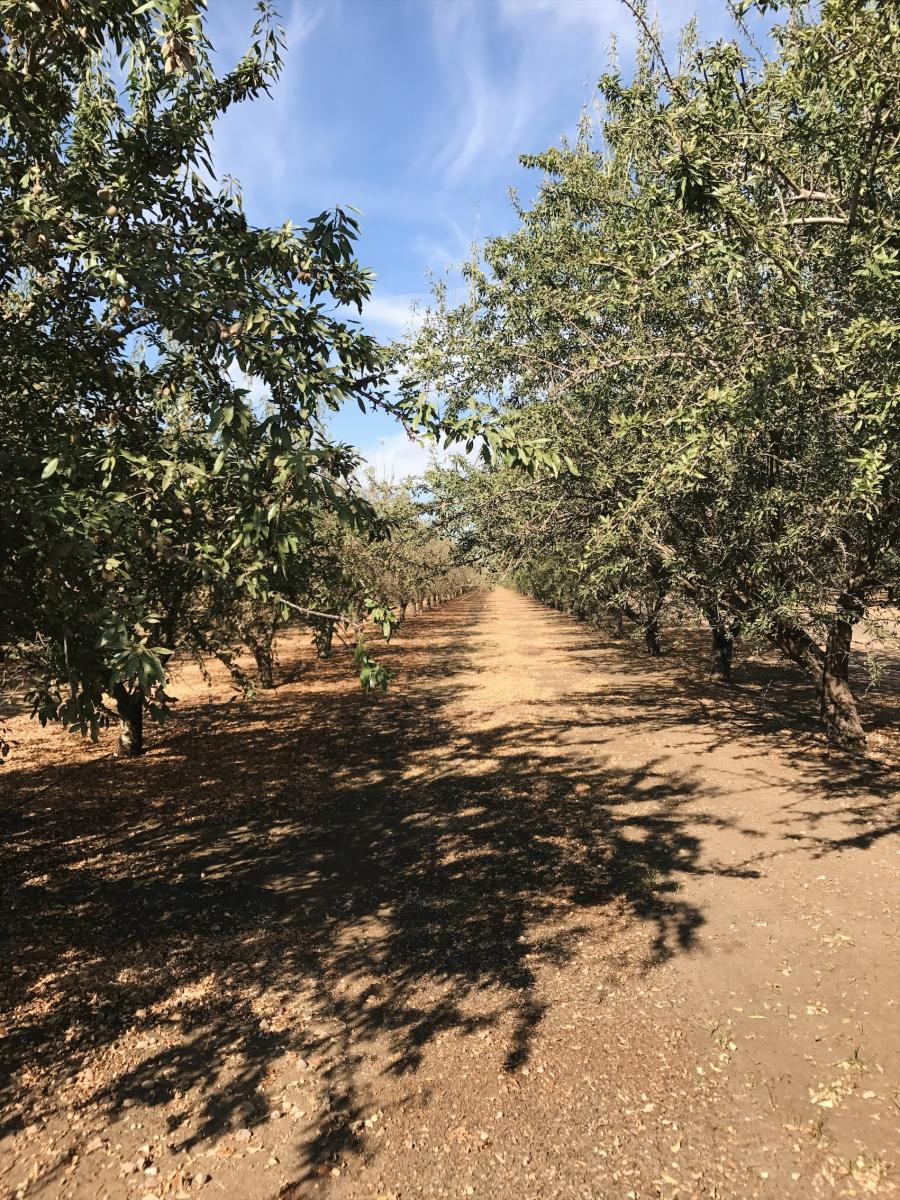 In the almond orchard. Learn more about amazing almonds - a homegrown, sustainable and nutritious snack.