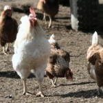 pros and cons of backyard chickens