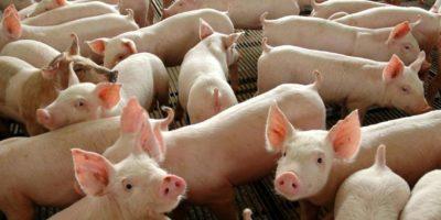 Importações de carne suína brasileira pela China crescem 107% em julho