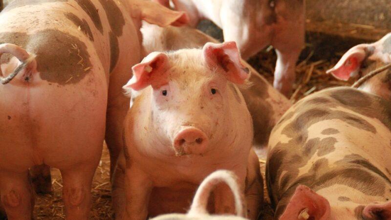 Peste suína africana impacta China e se espalha pelo mundo