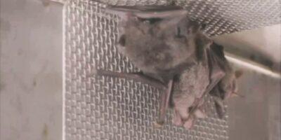Vídeo mostra morcegos vivos em laboratório de Wuhan e desmente governo chinês