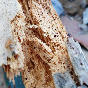 Woodworm - Common Furniture Beetle - Anobium Punctatum