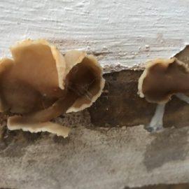 peziza-fungus