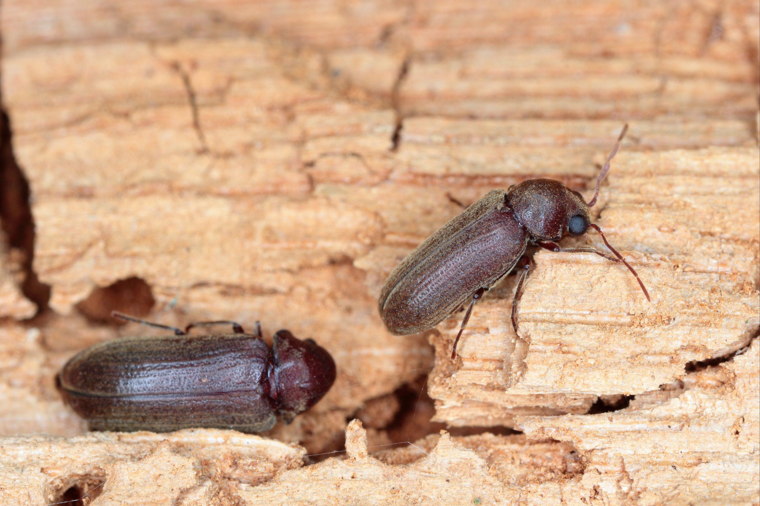 Wood Borer Beetle Wood Damage