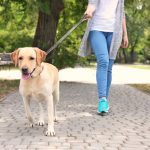 Walking Labrador