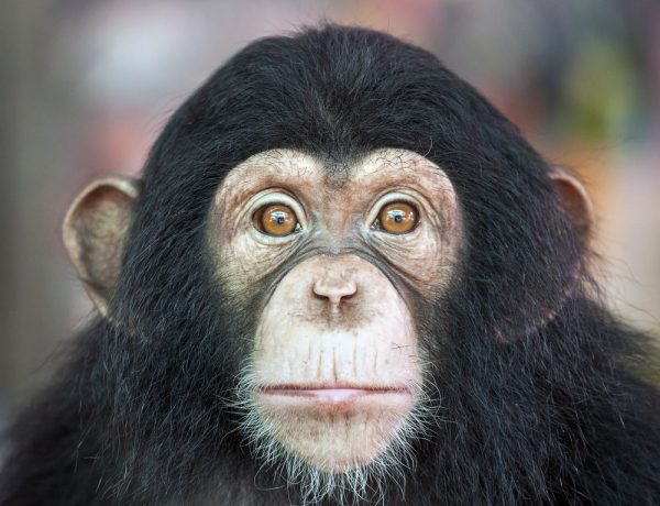 U.S. Finally Pardons Chimpanzees From Cruel Lab Experiments