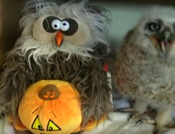 """Who knew owls like the """"Monster Mash,"""" too?"""