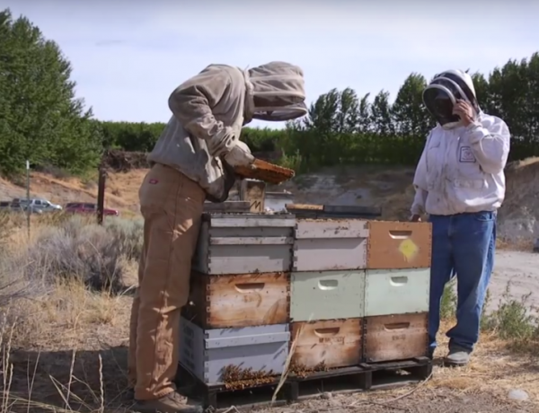 Honeybees may be saved by mushrooms