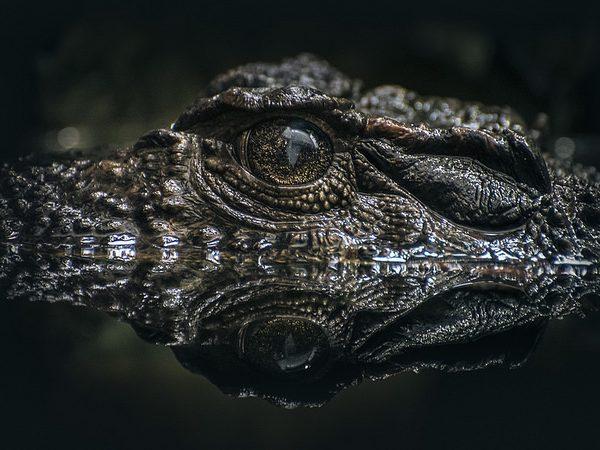 crocodile, crocodile oil
