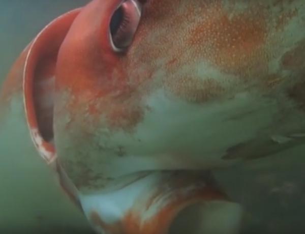 This giant squid is amazing.