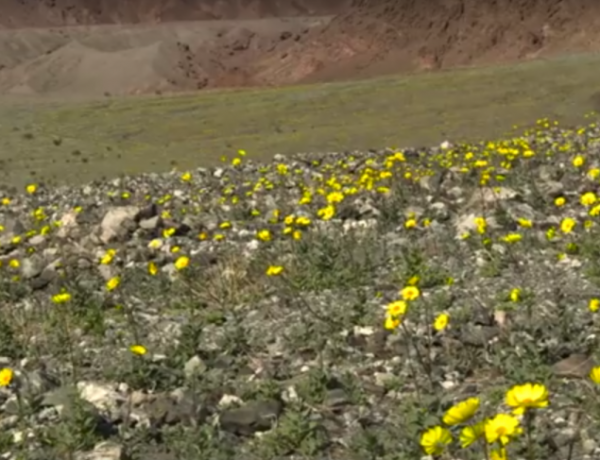 Meet Death Valley's flowers.