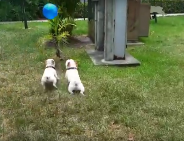 These French bulldogs are having the best day ever.